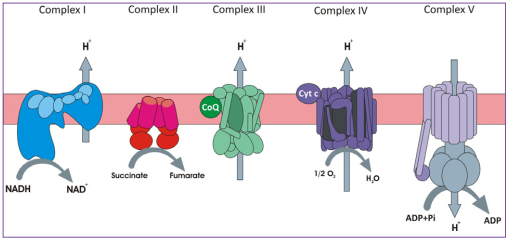 Mitochondrial enzyme complexes